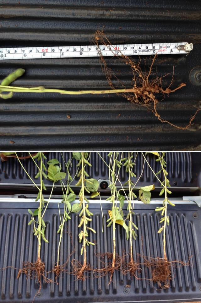 Figura 01 - Situação do sistema radicular das plantas de soja, indicando limitações no perfil do solo para um crescimento e um desenvolvimento adequado.
