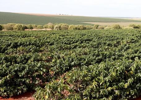 Plantação de café na Fazenda Santa Maria, em Monte Carmelo – MG